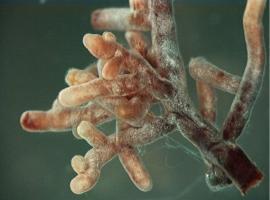 Mykorhiza pod drobnohledem