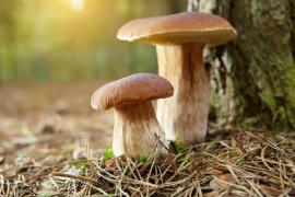 Soužití hříbků s kořeny dřevin