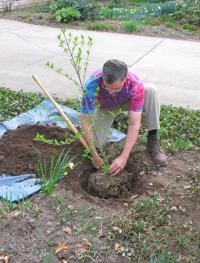 Výsadba okrasného listnáče