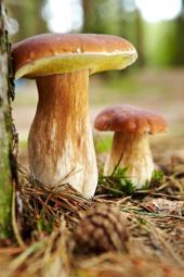 Díky mykorhize si třeba pochutnáme na houbové smaženici