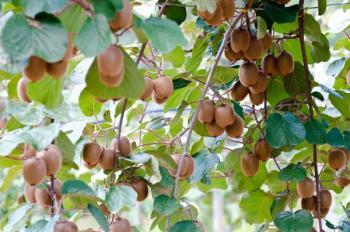 Plody aktinidie čínské - ochlupené bobule