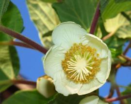 Květ aktinidie má 5 okvětních lístků