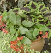 Kopřiva africká působí pěkně v kombinaci s dalšími rostlinami, na zahradě i s jehličnany, které ji přistiňují