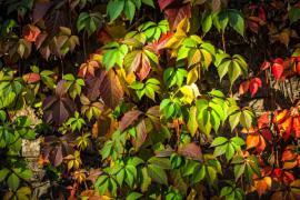 Přísavník - s příchodem podzimu se začnou jeho listy barvit