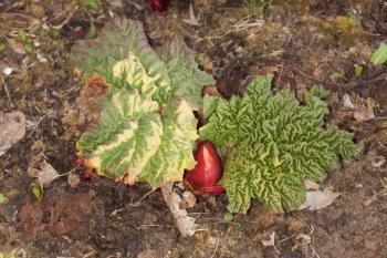 Mladá rostlinka rebarbory