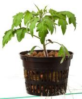 Hydroponicky pěstovaná rajčata