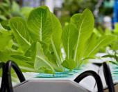 Hydroponické pěstování zeleniny