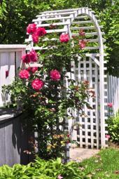 Popínavé růže