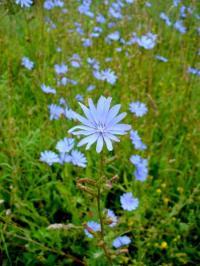 Modré květy čekanky