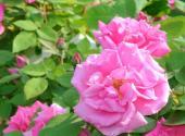 Oblíbené okvětní lístky růže