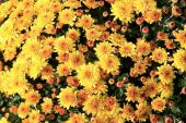 Květy chryzantém