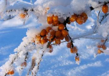 Plody rakytníku sklízíme nejdříve po prvních mrazících, raději ale až později