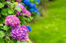 Z růžové můžeme získat hořcově modrou hortenzii