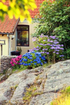 Barevné květy hortenzií