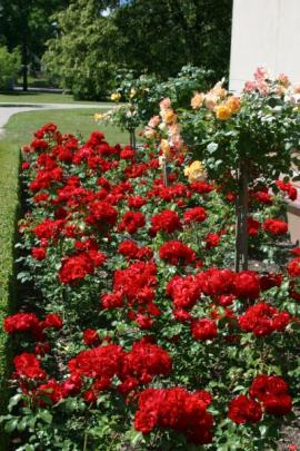 Rozkvetlé čajové růže - keříky i stromky