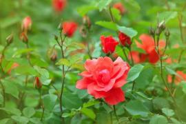 Rozkvetlé čajové růže