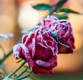 Pokud růže nesestřihnete před příchodem mrazů, dokonce i zkrásní