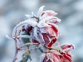 Růže - zimní krása