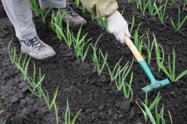 Pokud již jsou listy vysoké alespoň 15 cm, rozrušujeme půdu kolem rostlin, ovšem nesmíme ji kultivovat do hloubky kvůli kořenové soustavě česneku