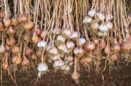 Sklizený česnek sušíme na suchém a vzdušném místě
