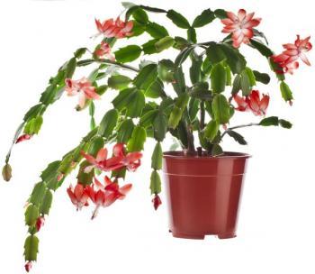 Vánoční kaktus