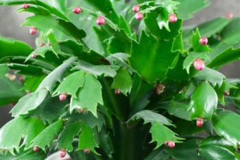 Květní poupata vánočního kaktusu