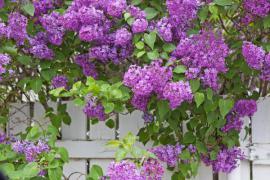 Přesahující větve a květy šeříku