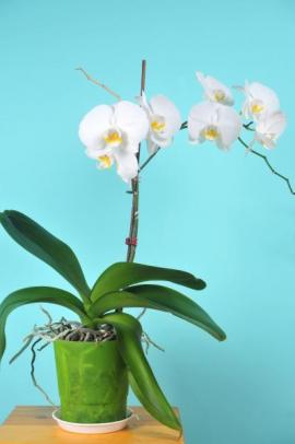 Orchidej v interiéru