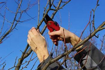 Zimní řez ovocných dřevin