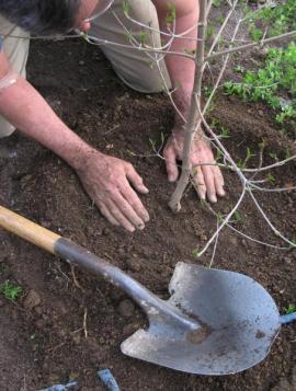 Výsadba ovocného stromku