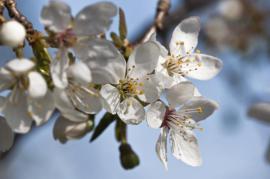 Na jaře kvetoucí ovocný strom
