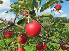 Dozrálá jablka