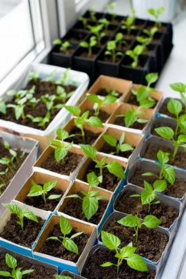Předpěstování sazenic zeleniny na vnitřním okenním parapetu