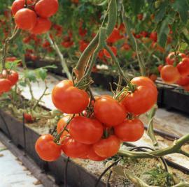 Úroda rajčat