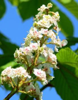 Květy jírovce maďalu