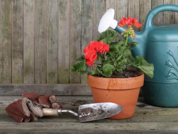 Krásné mladé rostliny muškátu, již kvetoucí