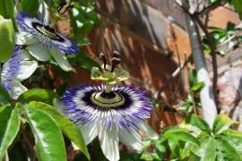 Mučenka - nádherně rozkvete na kryté terase