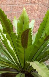 Kapradina Asplenium nidus