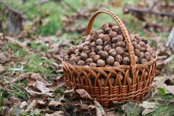 Sklizeň ořechů
