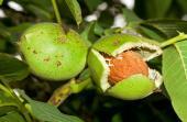 Dozrálé plody ořešáku