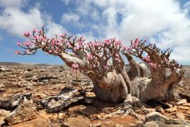 Pouštní růže ve volné přírodě