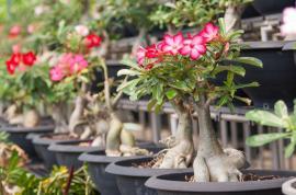Pouštní růže v mobilních nádobách