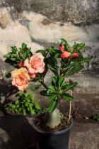 Pouštní růže