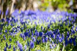 Modřenec má na dotek velmi zajímavé květy, byť jde o nízkou cibulovinu