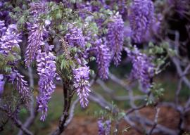 Vistárie - nevidomý se může projít pod svěšenými hrozny vonných květů