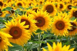 Slunečnice nejsou vytrvalé rostliny, ovšem když vyrostou a vykvetou, je to vždy úžasný zážitek
