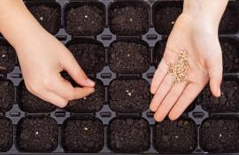 Výsev semen