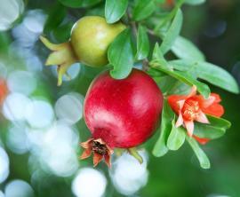 Květ, nezralý a zralý plod granátovníku