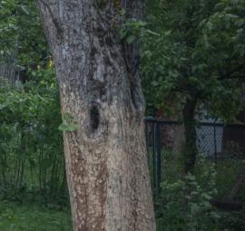 Dutiny se ve stromech tvoří postupně díky hnilobě, nebo jsou vytesány datlovitými ptáky