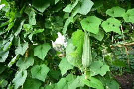 Zrající plod lufy